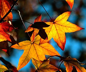autumn leaves alt