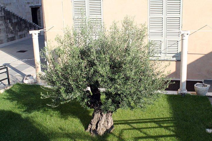 genoa-olive-tree