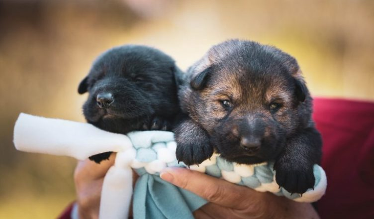 black and brown short coated puppy